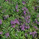 Angelonia Serena Purple in bloom