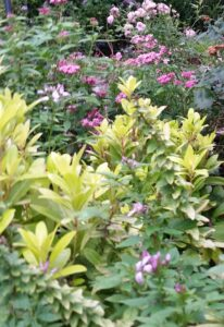 Anise Florida Sunshine planted with pink pentas and purple cleome