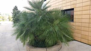 European Fan palm used as a commercial planting specimen in the middle of walkway area  Jackonville Florida
