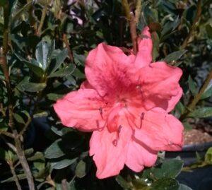Azalea Fashion blooms