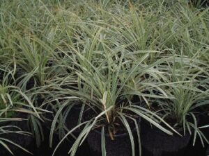 Aztec Grass in one gallon nursery containers showing the white striped foliage up close