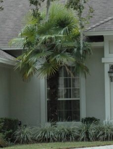 Variegated Loriope Aztec grass used in front of low windows on a home foundation around a windmill palm