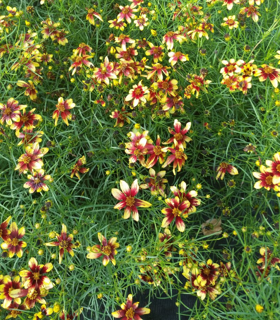 Coreopsis route 66 in full bloom