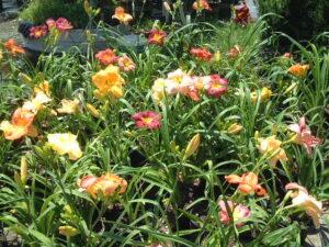 Daylily Assorted S & J Nursery