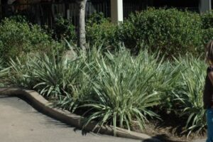 variegated Flax Lily Dianella tasmanica 'variegata' used as an edging plant in mass planting Jacksonville Florida