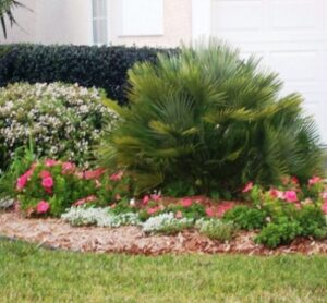 Chamaerops humilis in the landscape with flowering accents surrounding it Fruit cove Florida