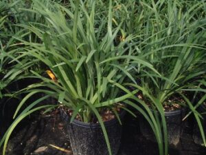 Liriope Muscari Evergreen Giant in one gallon nursery containers