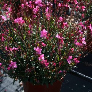 Gaura Belleza Dark Pink S & J Nursery in bloom