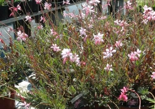 Gaura Pink Fountain S & J Nursery