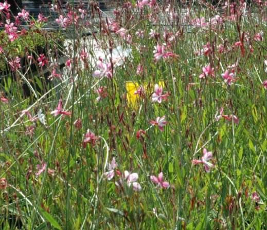 Gaura Siskyou pink in bloom