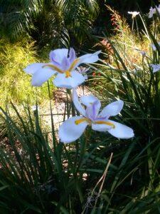 African Iris blooms up close