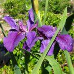 Louisiana Iris rocky Hunt