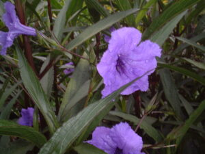 Myan Purple mexican Petunia non invasive ruellia simplex