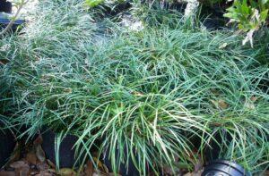 Mondo Grass in a one gallon black nursery pot