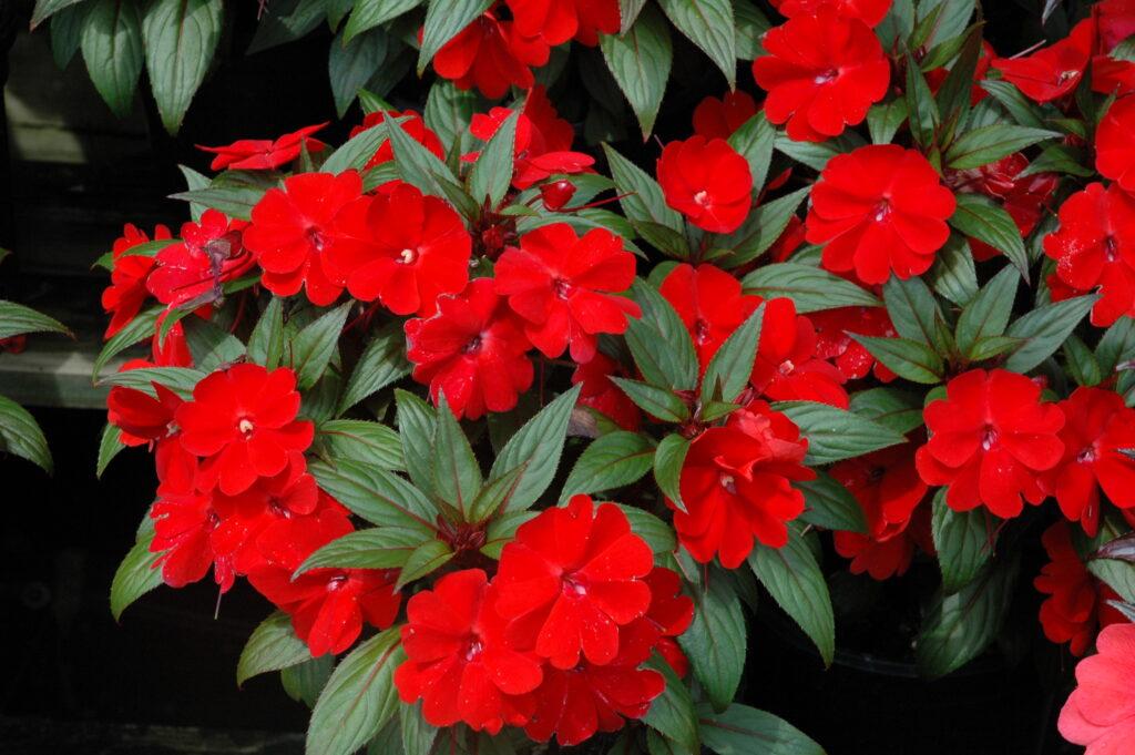 Sunpatien red S & J Nursery