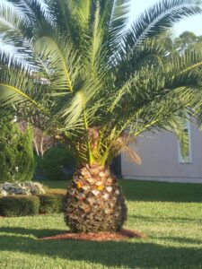 Canary Island Date Palm showing pineapple shape at the base of the palm on a relatively young palm Jacksonville Florida