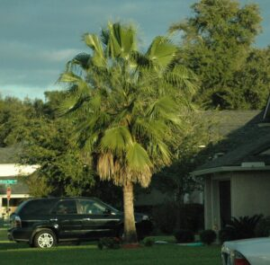 Chinese Fan Palm larger specimen in the St. Augustine Florida area Landscape
