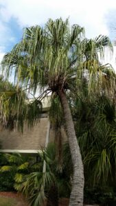 Curved Trunk Ribbon Palm in a home foundation planting St. Augustine Florida