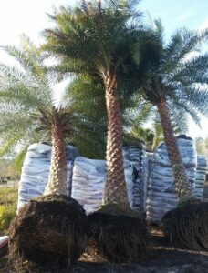 Sylvestris Palms in the loading area waiting to be loaded for delivery and installation S & J Nursery