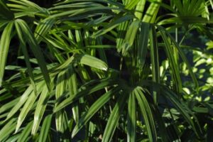 Lady palm Foliage up close St. Augustine Florida