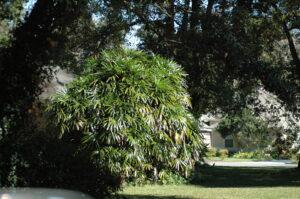 large lady Palm Jacksonville Florida
