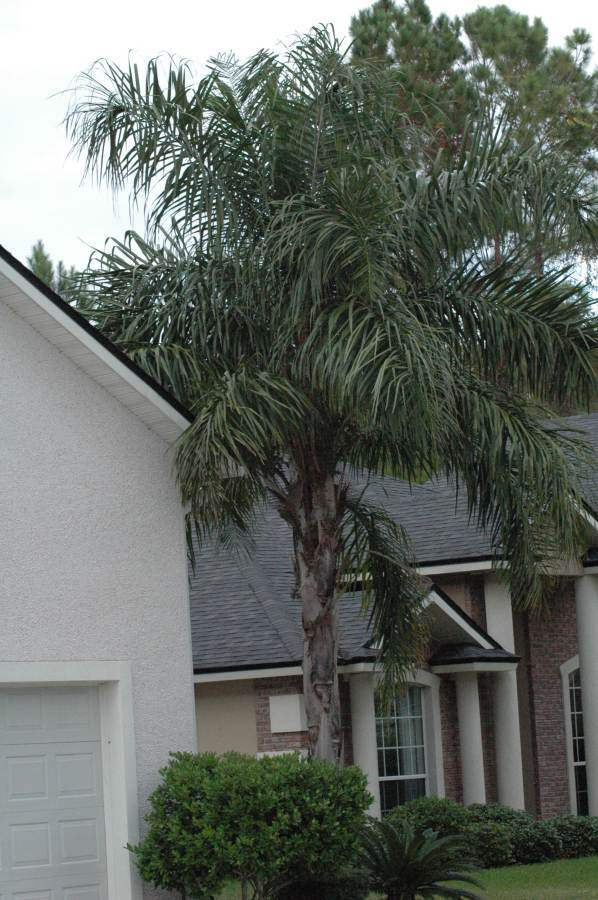 Queen Palm in the St. Johns landscape