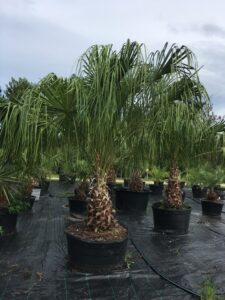 Ribbon palm 45 gallon container S & J Nursery St. Augustine Florida