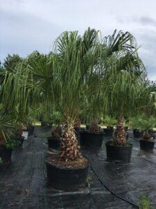 Ribbon palm 45 gallon container S & J Nursery St. Augustine Florida