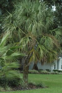Sabal Palm in the landscape St. Augustine Florida