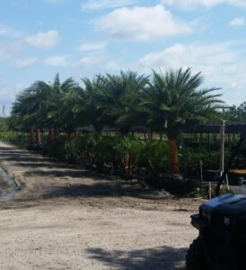 Sylvestris Palms at the Nursery site in St Augustine Florida