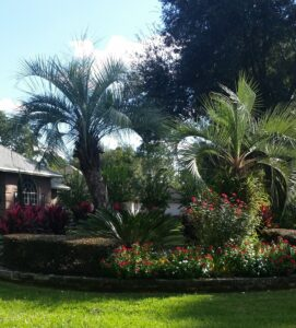 2 Pindo Palms in an Island Bed Jacksonville St. Augustine Florida area