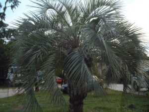 Pindo Palm planted in the lawn Jacksonville Florida