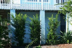 Podocarpus Japanese Yew trees used as a privacy blocker
