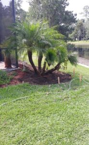 4 trunk Pygmy date palm on the outside of a pool screen enclosure