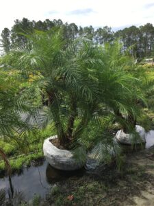 Triple Trunk Roebelenii Palm ready to plant