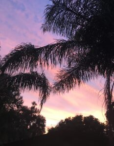 Palm Fronds against the Florida Sky at dusk with the sky in full colors of purple blue pink orange and yellow as the sun sets