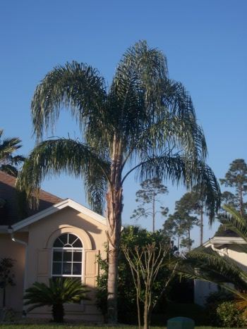 queen Palm fronds cprawled across the skyline Jacksonville Florida