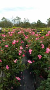 Single Pink Knockout Rose Nursery Crop fo 10 gallon pots