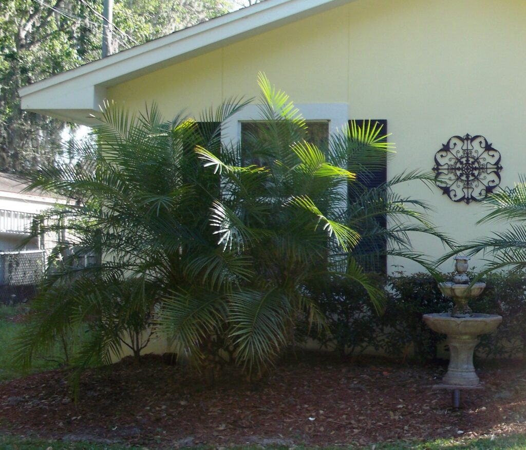 Pygmy date Palm Double trunk in front of a home in the landscape St. Augustine Florida