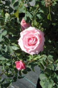 Belindas Dream rose up close bloom
