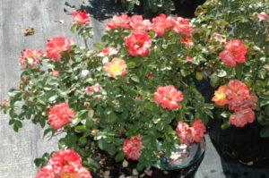 Drift Rose Peach blooms