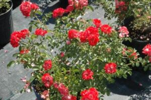 Drift rose coral blooming in a 3 gallon nursery pot
