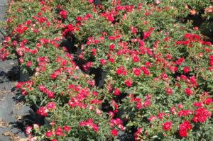Rede drift Rose St. Augustine Florida