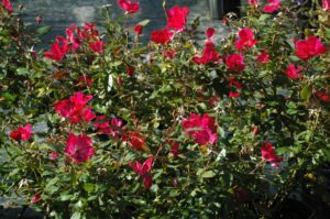 Knockout Rose red crop in nursery containers