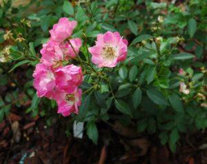 Marthas Vineyard Polyantha Heirloom Rose