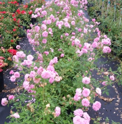 Cladeewell Pink / Pink Pet Heirloom Rose Polyantha