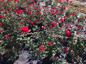 Red Knockout Rose Double