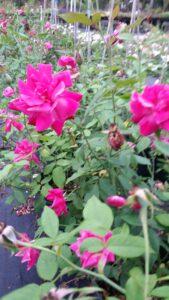 Heirloom Rose Old Blush China Rose