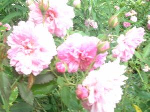 Cladwell Pink / Pink Pet Rose