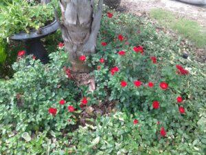 rose La Sevilliana in the St. Augustine area Landscape